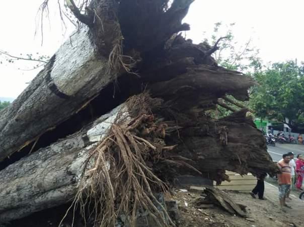 Pohon Randu Agung tampak dari dekat